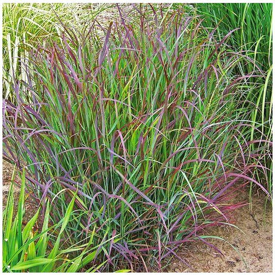 127 best images about grasses on pinterest sun hakone for Small ornamental grasses