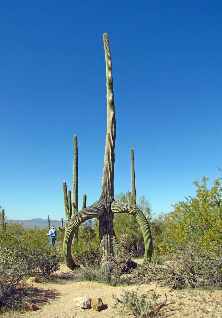 Saguaro National Park Arizona North America S Largest Cacti Can Be Found Here The Park Was Established To Protect The Nature Tree Arizona Landscape Saguaro