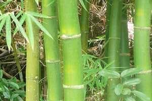 Imagen ilustrativa del artículo Propiedades del Bambú para las Articulaciones y la Piel