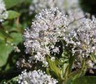 Thé du New Jersey - Le thé du New Jersey fait partie des plantes médicinales impliqué dans la médecine traditionnelle amérindienne du nord de l'Amérique, il est un traitement efficace et reconnu pour son action sur les infections respiratoires de type bronchite et asthme, mais aussi sur la toux et les maux de ... http://www.complements-alimentaires.co/wp-content/uploads/2015/01/the_du_new_jersey_Ceanothus_americanus.jpg - Par Nathalie sur Compléments alimentaire