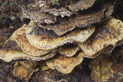 Heather Collins, Detail of Bracket Fungus