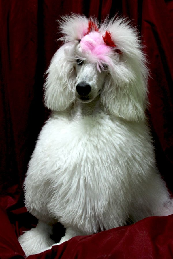 miniature poodle haircuts 52 best poodles images on poodles standard 1916