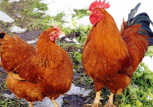 Яйценосные породы кур — 6 соток