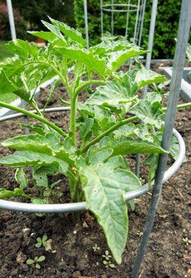 Tomato Plant Care | Tomato Gardening Guru