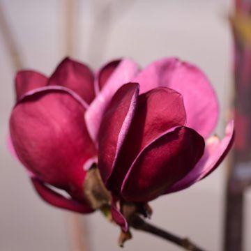 die besten 25 magnolie kaufen ideen auf pinterest. Black Bedroom Furniture Sets. Home Design Ideas