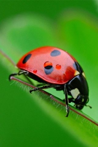 Ladybug. Will have exactly seven spots of black. Notice the slight white markings on its shell above the seventh spot. Also two spots on its thorax.