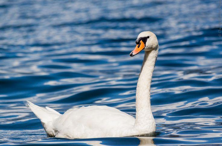 Swan5   Flickr - Photo Sharing!