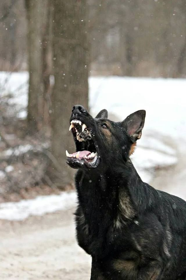 Guard Dog GOALS!! GSD's, very gentle dogs but not to be underestimated, powerhouse relatives of the wolf.