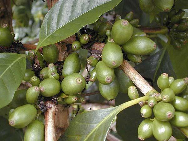 """#CuriousCoffee Maragogype es de las variedades que produce granos más grandes tanto que """"deforma"""" la cereza de #café"""