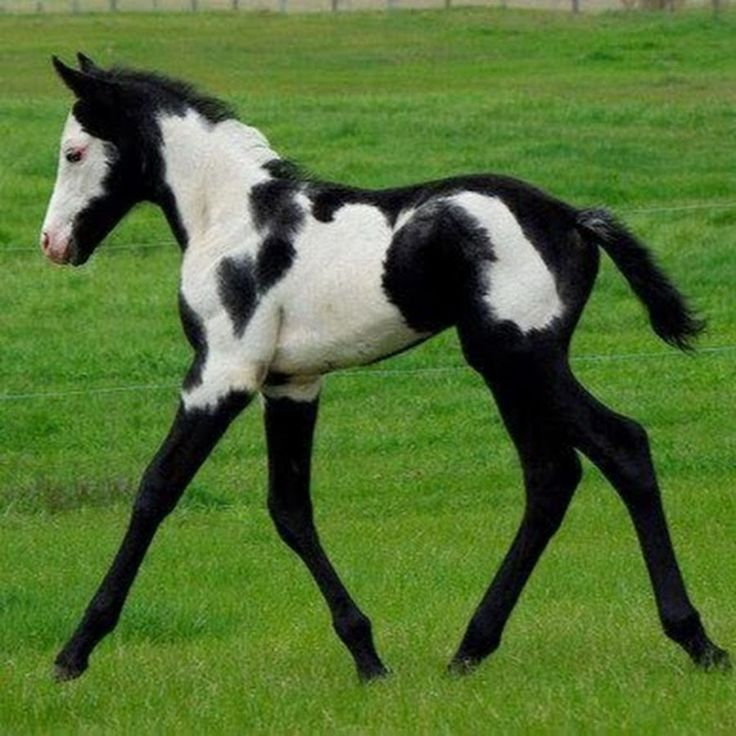 Frame overo foal