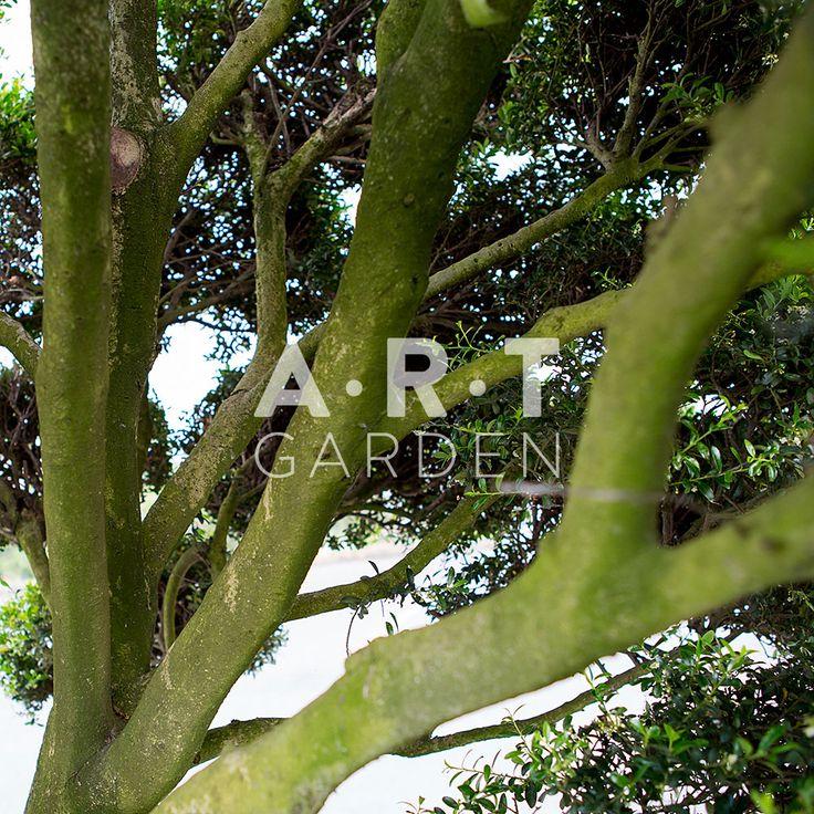 ilex crenata kimme arbres nuage japonais bonsai geant. Black Bedroom Furniture Sets. Home Design Ideas