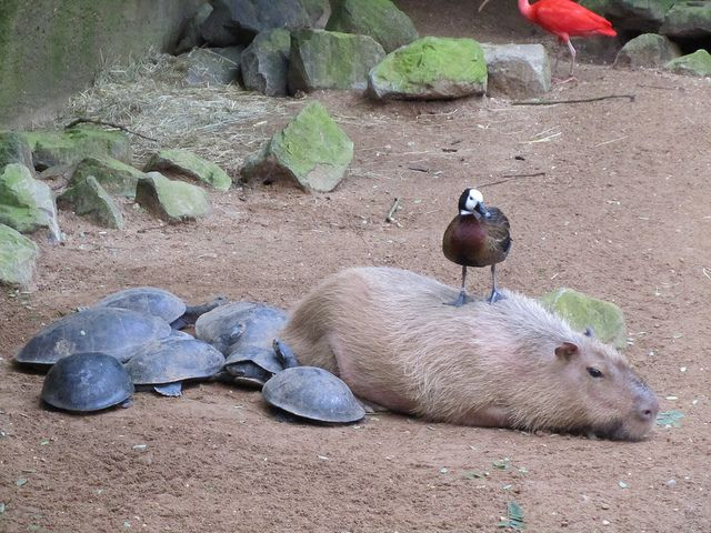 Capibara and friends