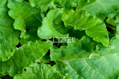 rhubarb leaves - Close-up shot of Rhubarb Leaves in Springtime.: Beautiful Flower, Inspiration Flower, Interesting Flower, Perfect Flower, Flower Inspiration, Parties Flower, Flower Wishlist