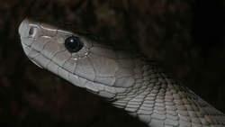 Gif van zwarte mamba alternatief voor morfine  Het gif van de giftigste slang van Afrika, de zwarte mamba, zou een belangrijke pijnstiller kunnen opleveren. Dit stellen wetenschappers uit ...