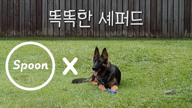 [스푼 목소리] 똑똑한 셰퍼드 _Travis B  #스푼 #라디오 #똑똑한 #셰퍼드 #강아지 #TravisB #목소리 #귀쿵 #심쿵