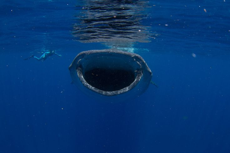11 places to swim with whale sharks [PICS] - Matador Network