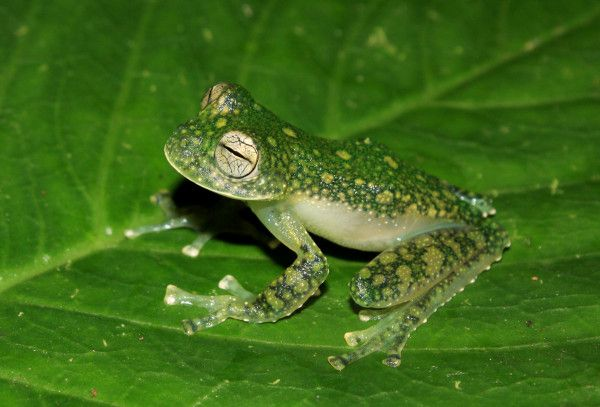 A photo of a transparent frog, Centrolene charapita. Four new species of see-through frogs, three of which reveal green bones, have been discovered by researchers in northern Peru.