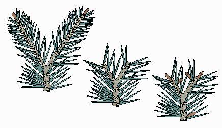 The Bonsai Primer: Pruning Pines