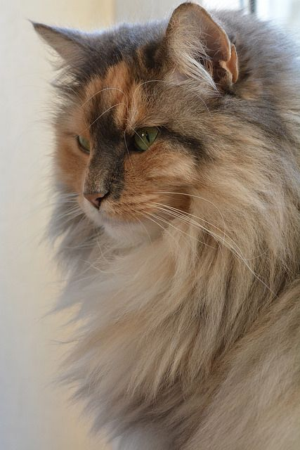 Maine Coon? Either way, he/she is beautiful!