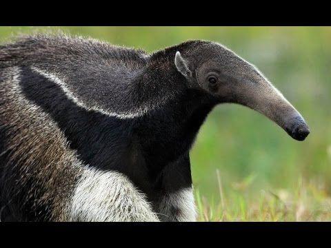 Il Formichiere Gigante è senza dubbio uno degli animali più strani e curiosi del mondo e sicuramente tra i più caratterisitci di tutto il Sudamerica.