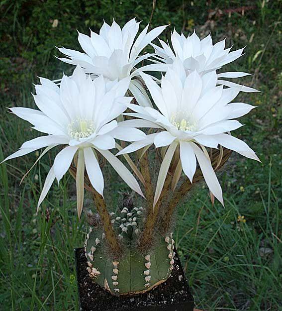 1000 id es sur le th me cactus jardin sur pinterest. Black Bedroom Furniture Sets. Home Design Ideas