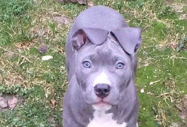american staffordshire terrier | American Staffordshire Terrier: carattere e prezzo - Idee Green