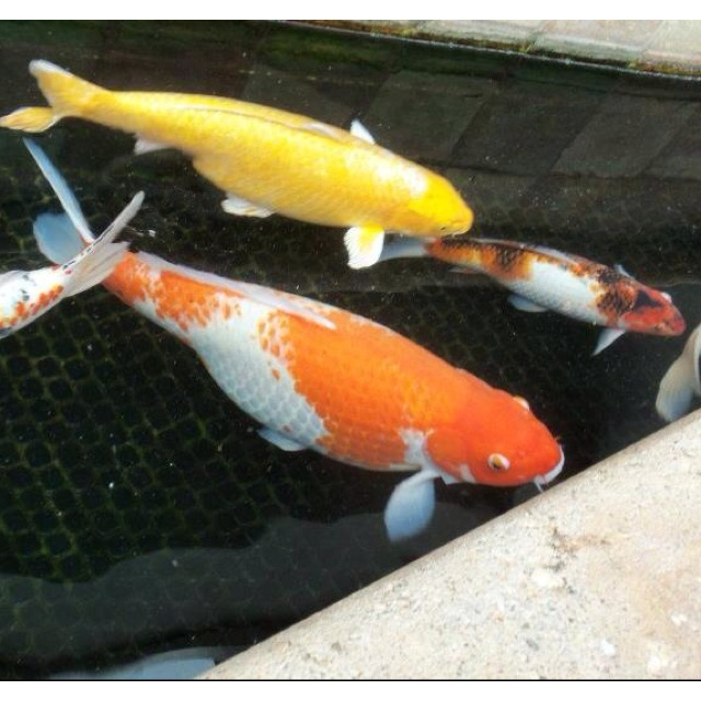 109 best japanese koi ponds images on pinterest japanese for Japanese pond fish