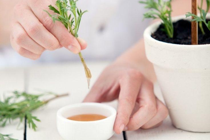 A méz mint 'gyökereztető hormon' nagyon sok növénynél kiváló eredményt produkál, ezért alkalmas a hajtások és dugványok kezelésére. Itt a recept!