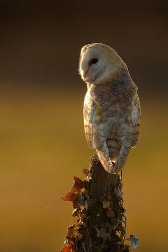 Barn Owl - by Nigel Pye on Flickr
