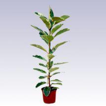 Tarka szobafikusz, Ficus elastica 'Belga' 30 cm magas 13cs