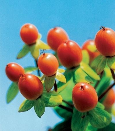 orange hypericum