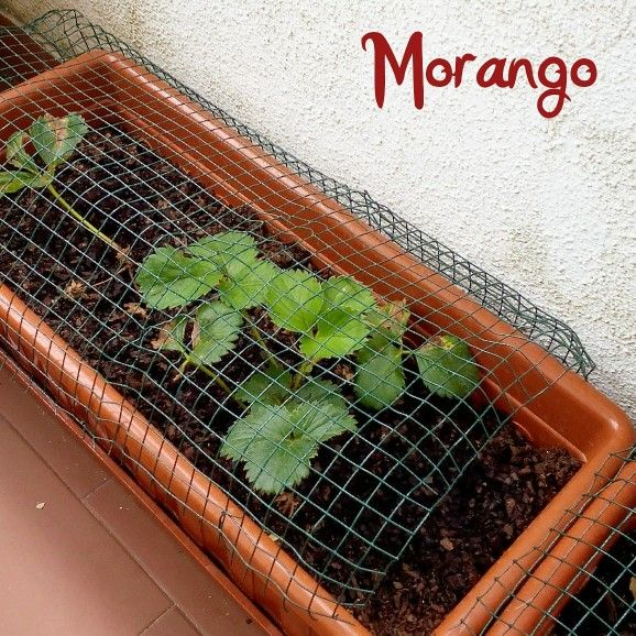 Morangos