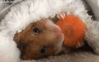 Tastefully Offensive on Tumblr, gifaknet:   video:  Hamster Eats Carrot in...