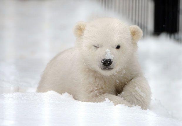 """Com degelo do Ártico, só ursos polares """"gordinhos"""" têm chance de sobreviver - http://colunas.revistaepoca.globo.com/planeta/2013/03/25/com-degelo-do-artico-so-ursos-polares-gordinhos-tem-chance-de-sobreviver/ (Foto: Bob Hallinen/AP)"""