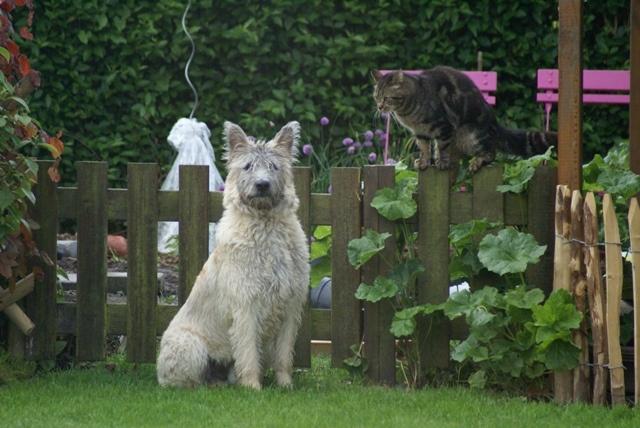 Bouvier des Ardennes - L'avis du vétérinaire - Choisir son chien