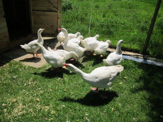 Geese & Goslings - Farm Yard