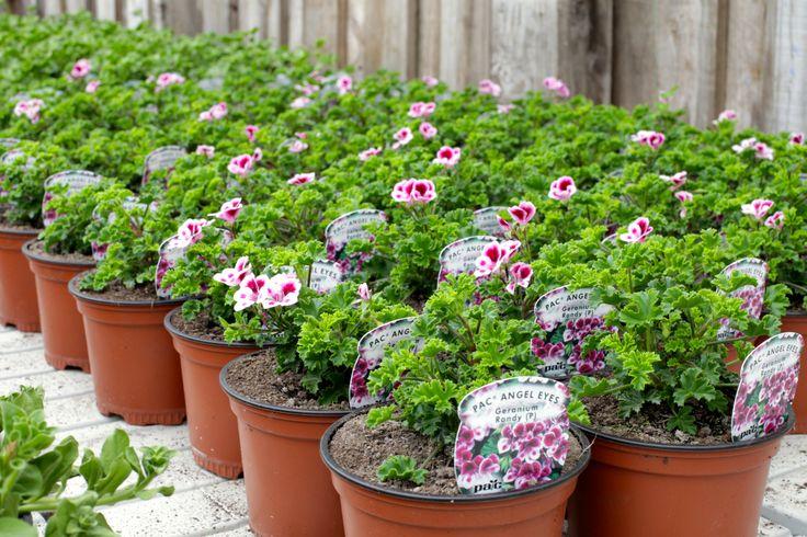 Pavilion Nursery, 1st May 2014. #summer #color #plants www.thepavilion.ie