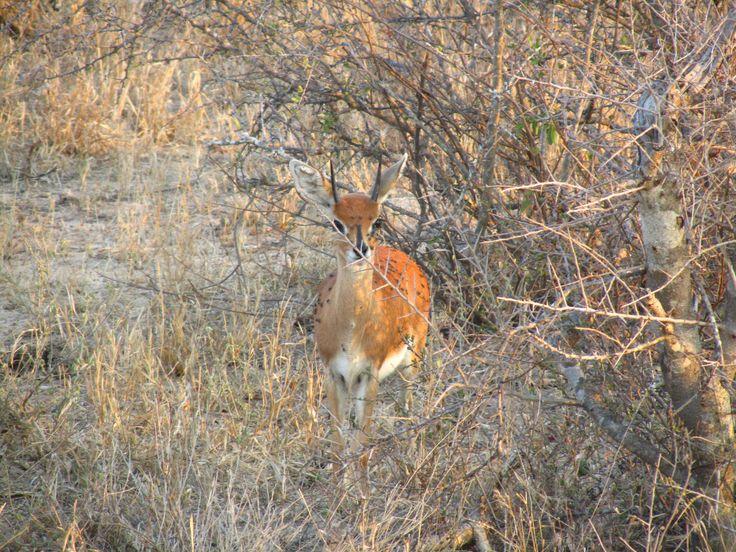 #Steenbok #Klaserie #Wildlife #Safari #Africa