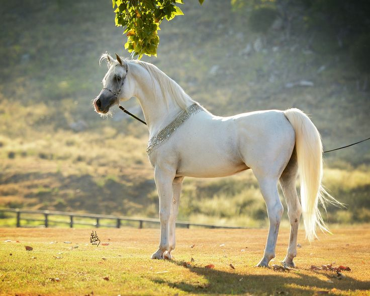 KLASS :: Mulawa Arabian Stud | Sydney Australia