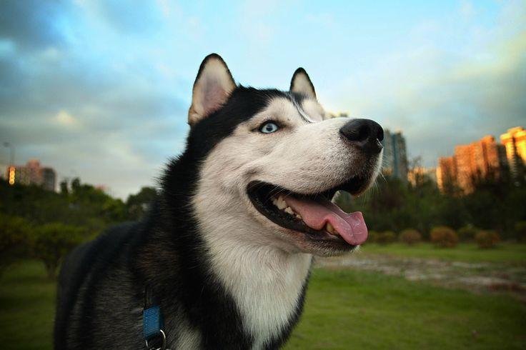 Nano #Siberian Husky# Dogs#