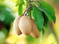 20 Blogs Explaining the Health Benefits of Sapota Fruit