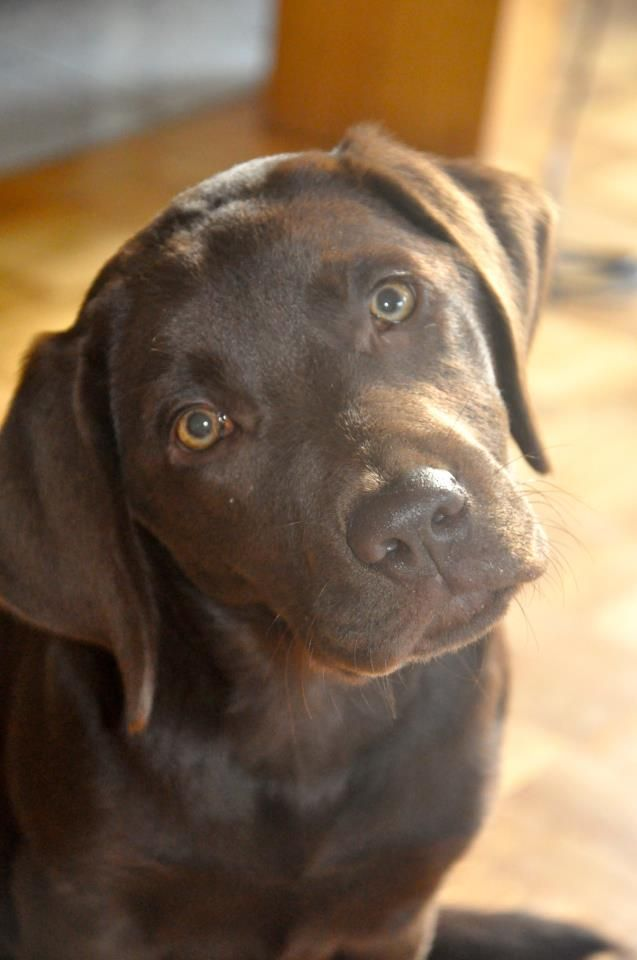 Chocolate Labs are just the cutest; THIS LOOKS JUST LIKE MY LITTLE FOOT