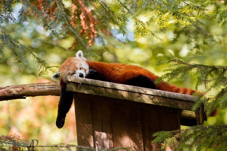Tired panda. by Ravenith on DeviantArt