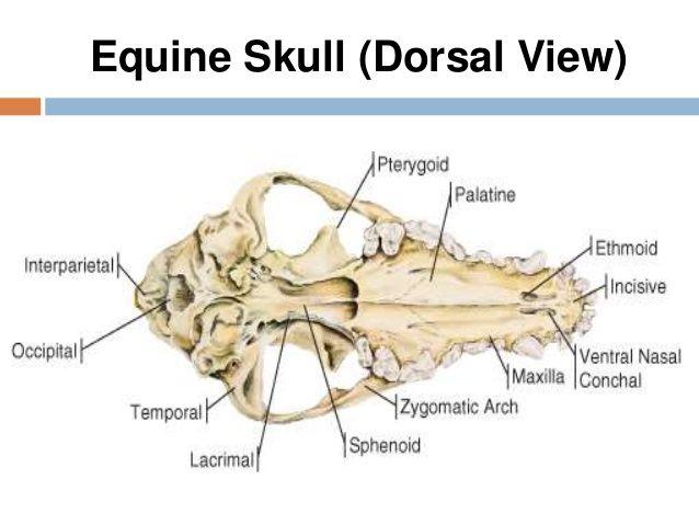 Horse Brain Diagram Skull Free Car Wiring Diagrams