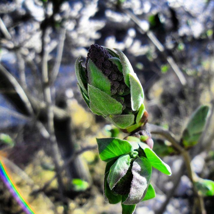 Spring, lilac, flower
