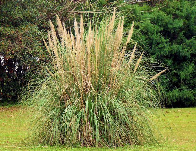 17 meilleures id es propos de herbe de la pampa sur pinterest herbe plantes ornementales et - Herbe de la pampa prix ...