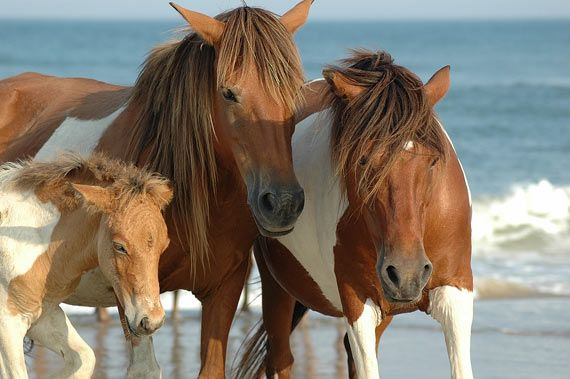 wild horses at corolla beach