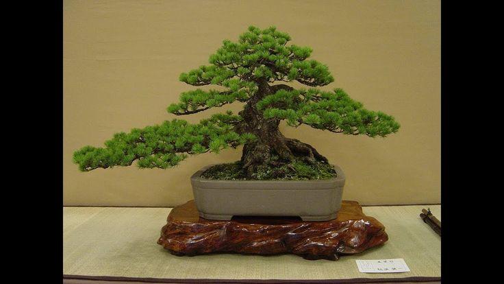 Bonsai  trees   master  demonstration  show