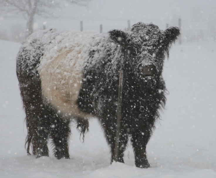 Belted Galloway Bull...they are a very rugged breed. In Scotland, they survived on very little food and water.