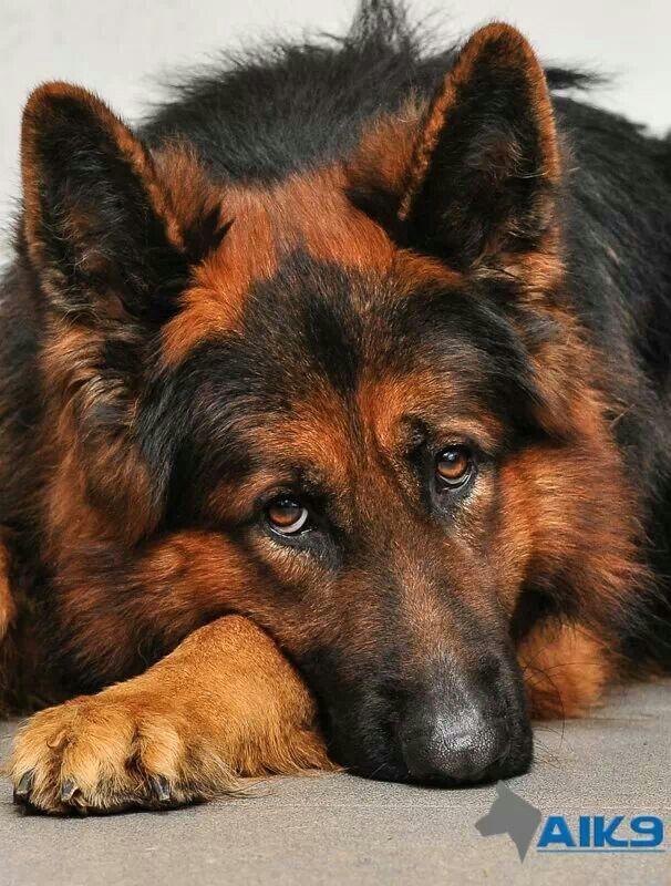 Red and black german shepherd dog - photo#1